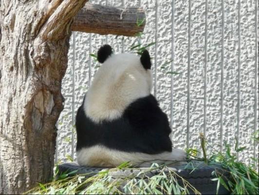 panda_001
