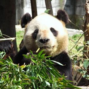 panda_005